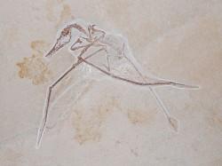 Rhamphorhynchus Vienna